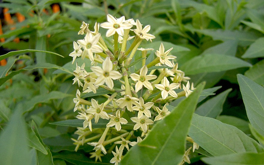 Nachtjasmin (Pflanze)
