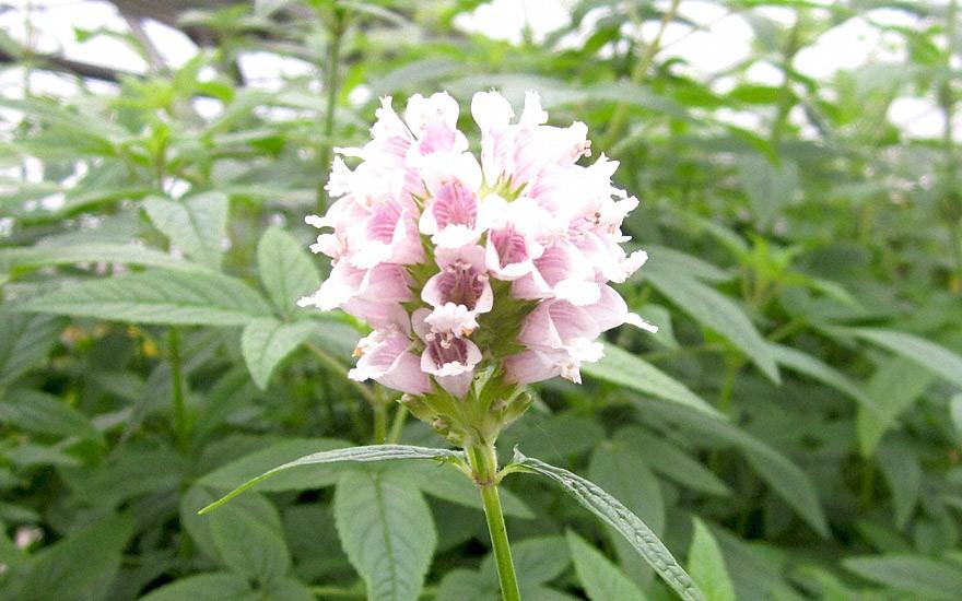 Balsamstrauch (Pflanze)