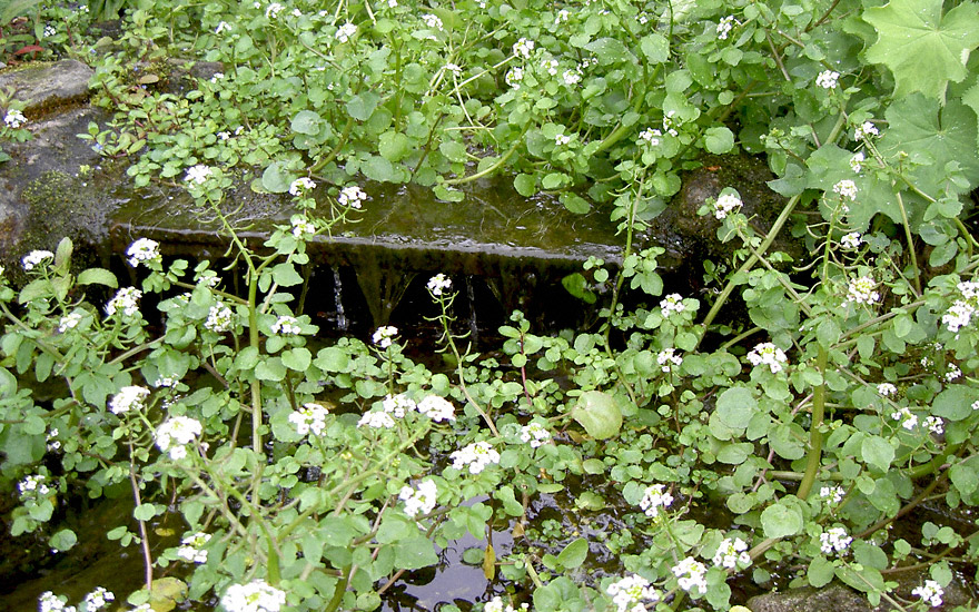 Brunnenkresse (Saatgut)