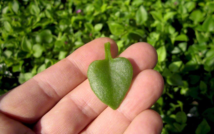 Herzblattsalat, Cordifole (Pflanze)