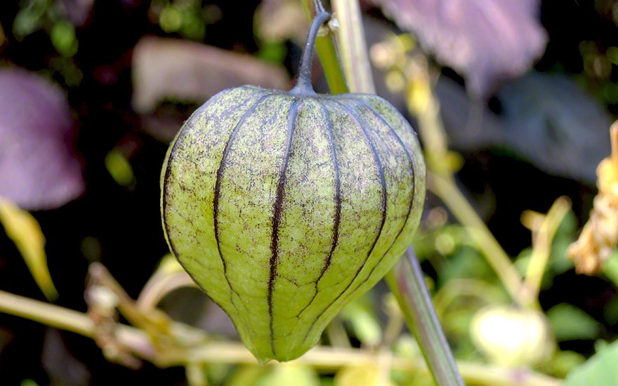 Tomatillo (Saatgut)