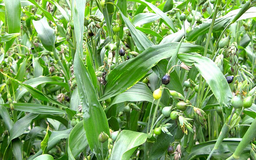 Hiobs-Tränen-Gras (Saatgut)