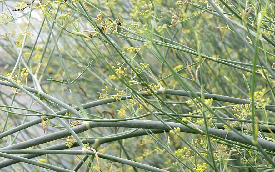 Sizilianischer Gewürzfenchel (Pflanze)
