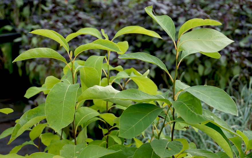 Gewürzbaum (Pflanze)
