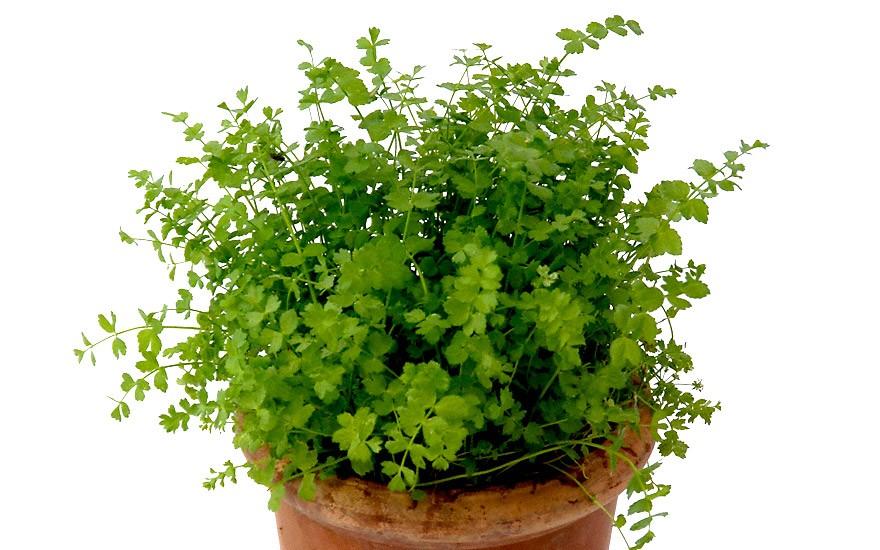 Kriechende Sellerie (Pflanze)