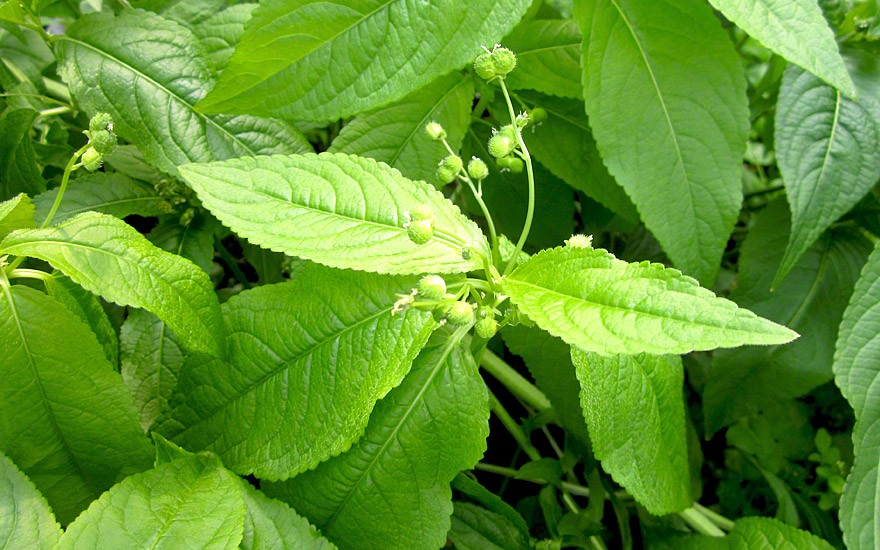 Bingelkraut, ausdauernd (Pflanze)