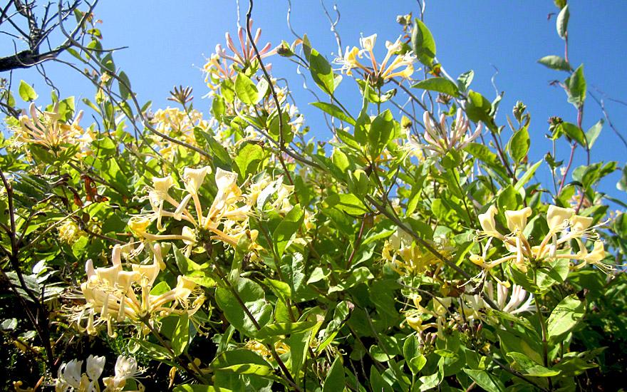Garten-Geißblatt (Pflanze)