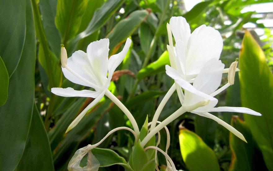 Weißer Ingwer (Pflanze)