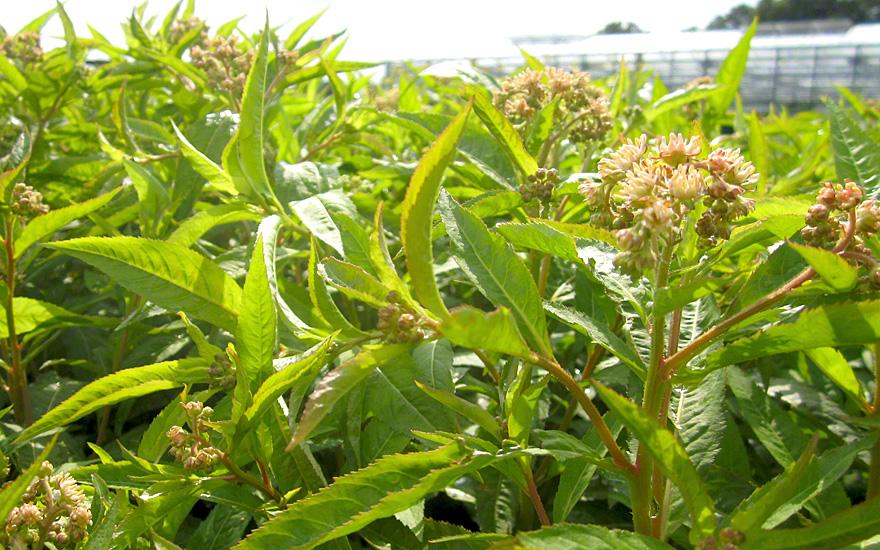 sumpfdickblatt pflanze penthorum sedoides essbare pflanzen nach verwendung r hlemann 39 s. Black Bedroom Furniture Sets. Home Design Ideas