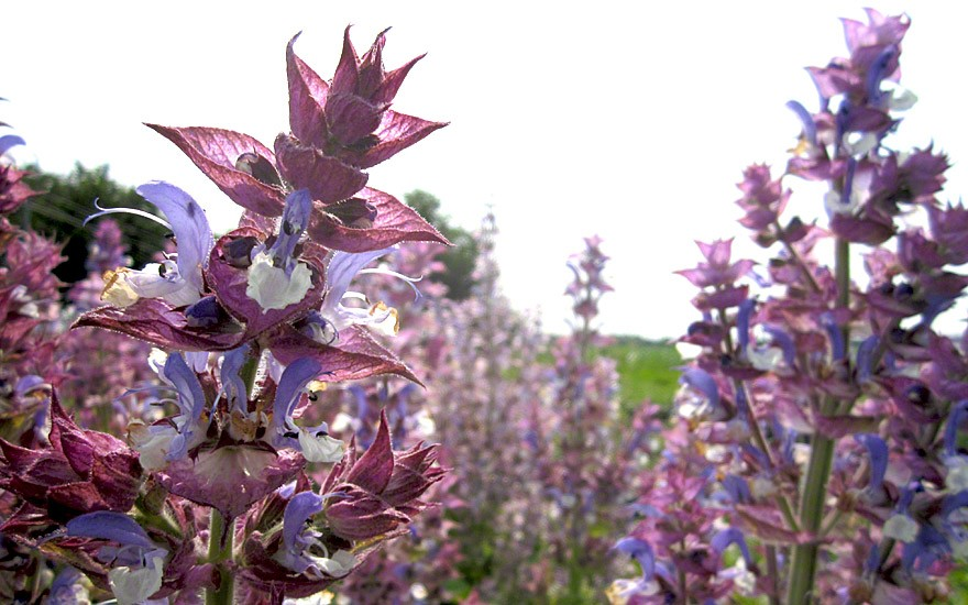 Muskatellersalbei (Pflanze)