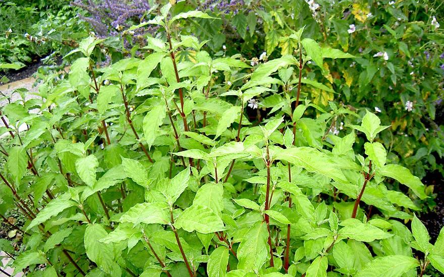 Niu Xi (Pflanze)