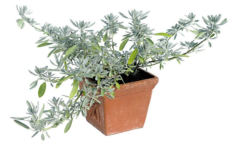 Kriechender Salbei (Pflanze)