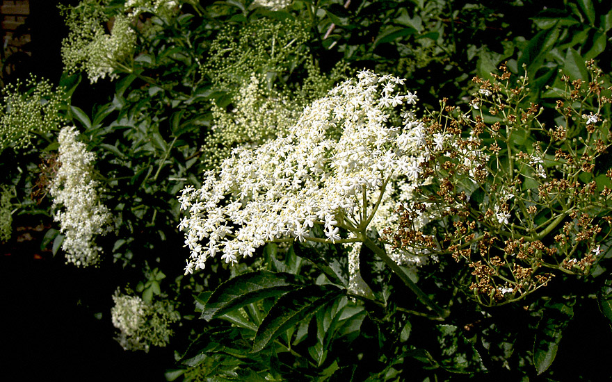 Holunder 'Sampo' (Pflanze)