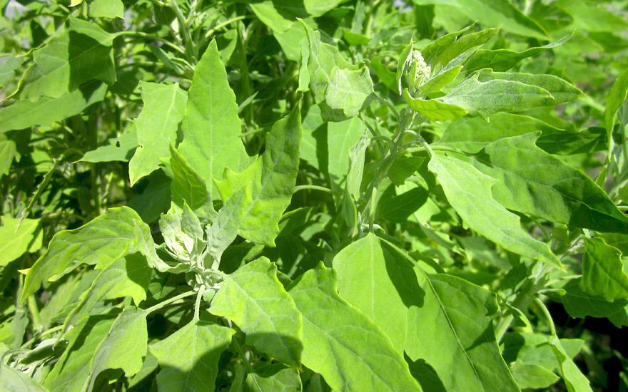 Gartenmelde (Saatgut)