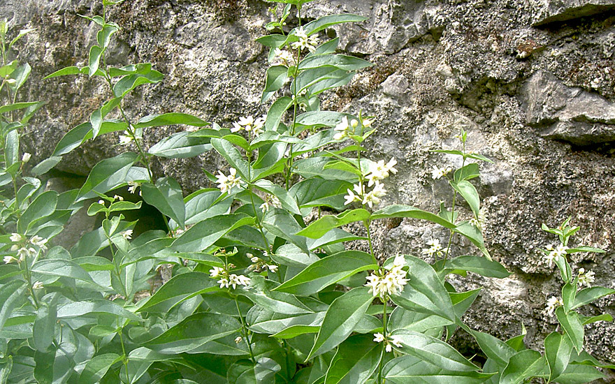 Schwalbenwurz (Pflanze)