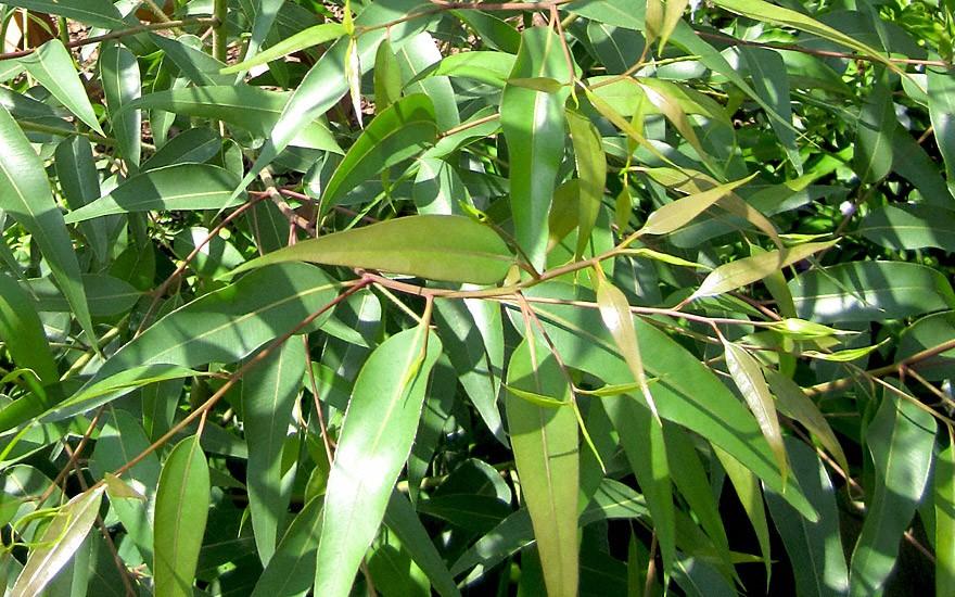 Zitroneneukalyptus (Saatgut)