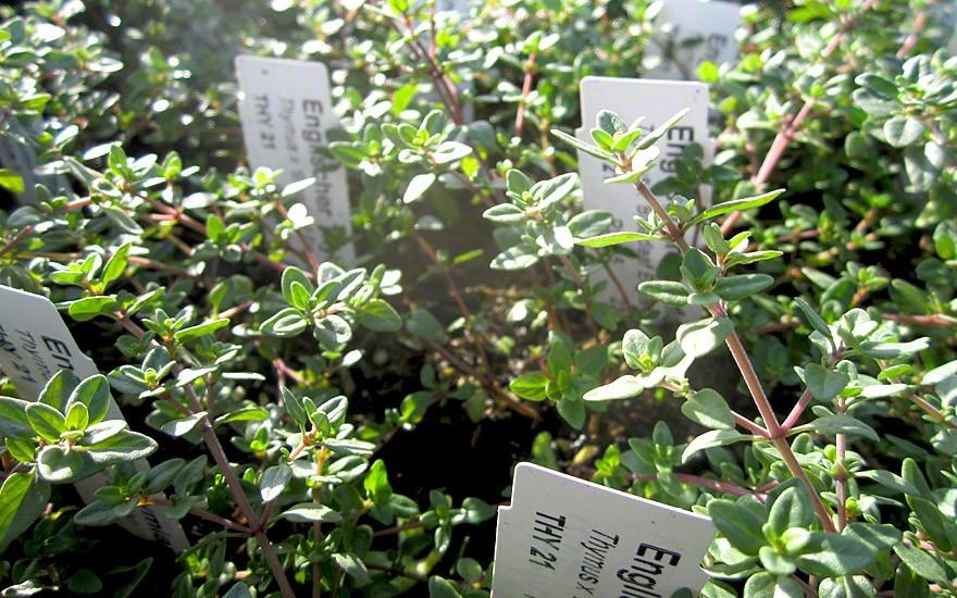 Englischer Thymian (Pflanze)
