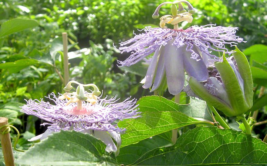 Passionsblume, heilend (Saatgut)