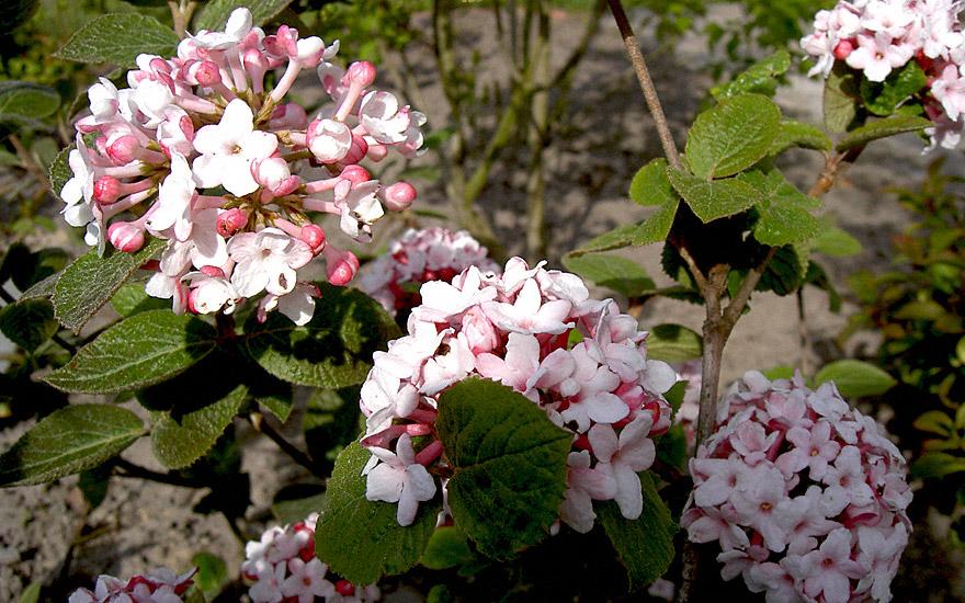 Winter-Duftschneeball (Pflanze)