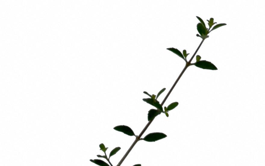 Ninarupa (Pflanze)