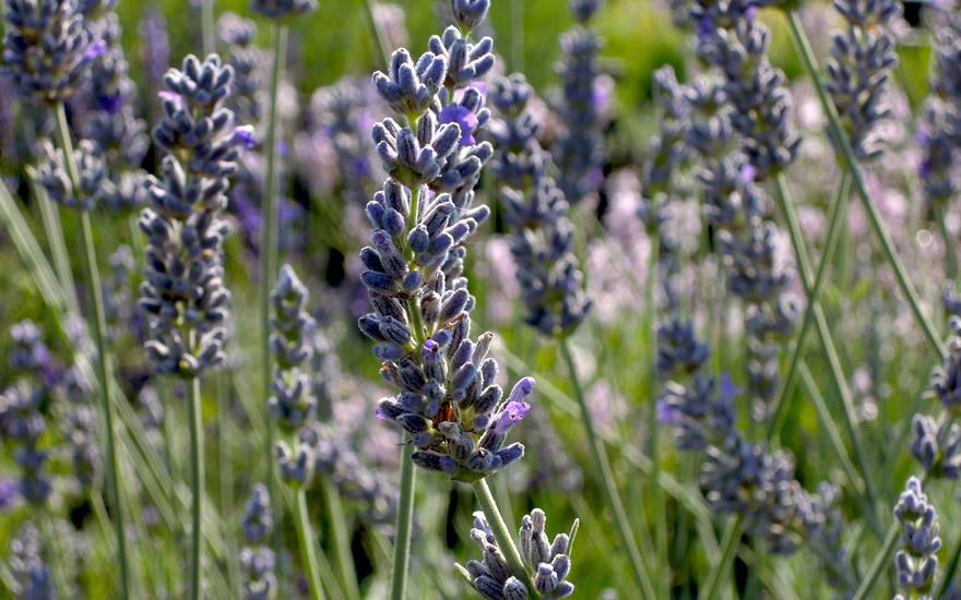Lavendel 'Silver Frost' (Pflanze)