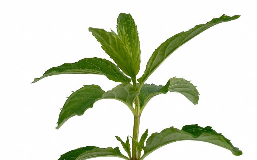 Tunesische Minze (Pflanze)