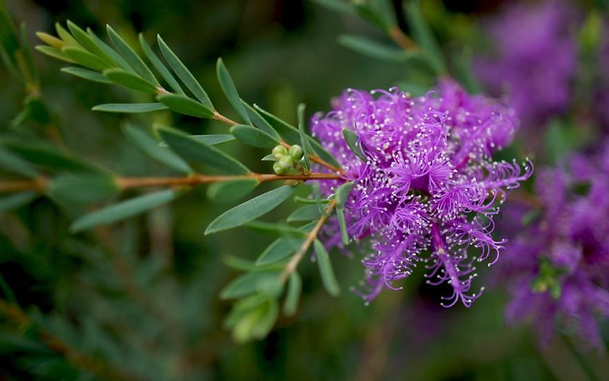 Honigmyrte (Pflanze)
