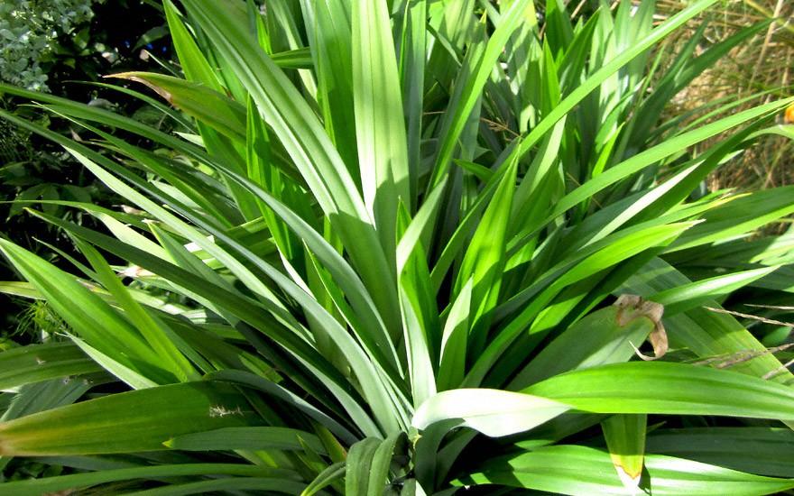 Pandan-Palme (Pflanze)