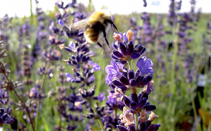 Lavendel 'Hidcote Blue' (Saatgut)