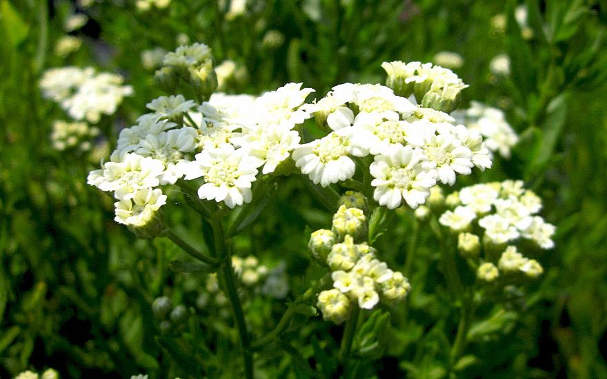 Muskatkraut (Pflanze)