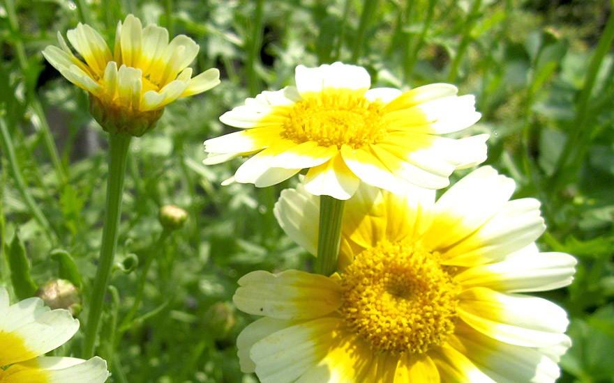 Speise-Chrysantheme, grossblättrig (Saatgut)