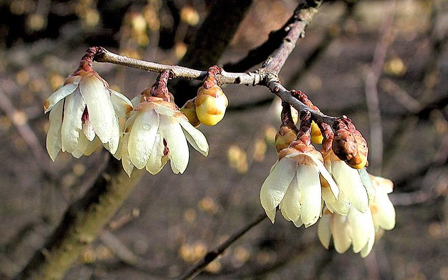 Chinesische Winterblüte (Pflanze)