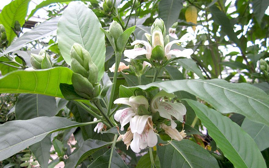 Vasaka (Indisches Lungenkraut) (Pflanze)