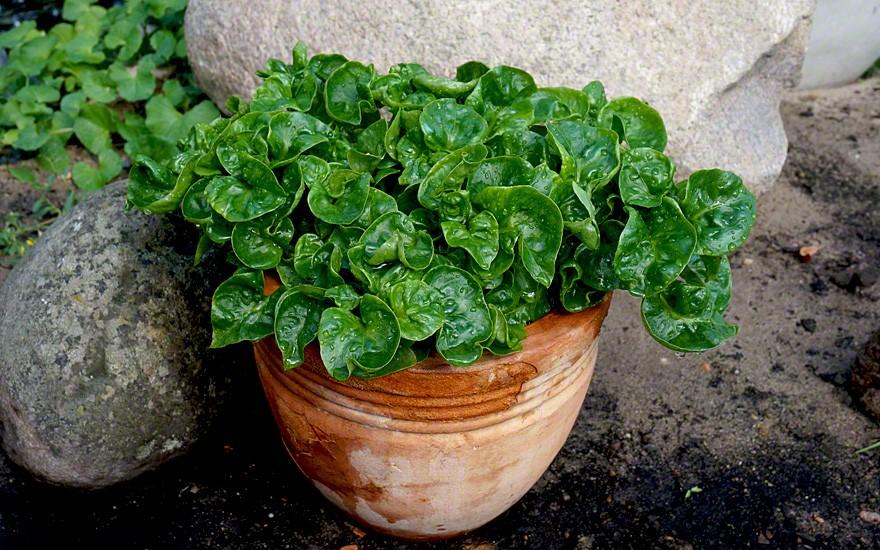 Ideal als Topfpflanze zu halten