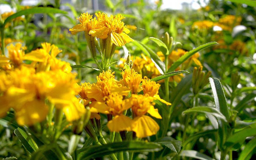 Yauhtli (Pflanze)