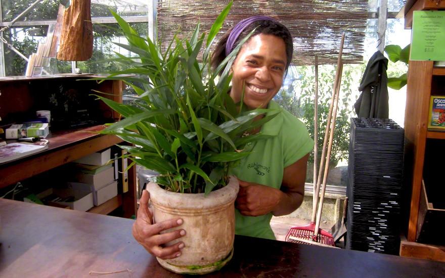 Kleiner Galgant (Pflanze)