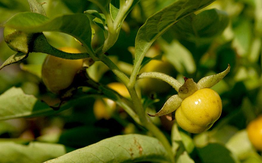 Tollkirsche, gelbfrüchtig (Pflanze)