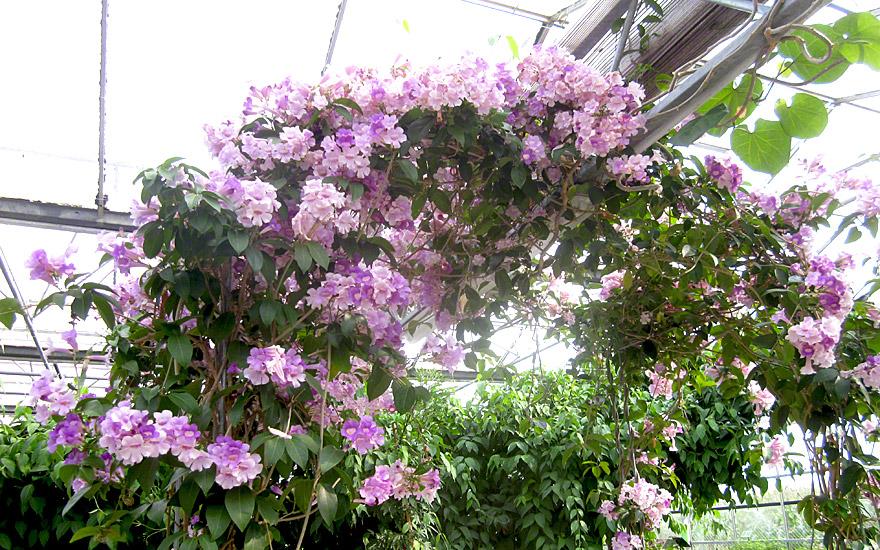 knoblauchwein pflanze mansoa alliacea essbare bl ten essbare pflanzen nach verwendung. Black Bedroom Furniture Sets. Home Design Ideas