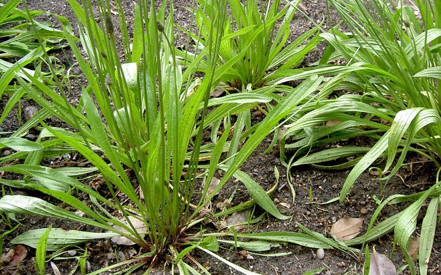 Spitzwegerich (Pflanze)