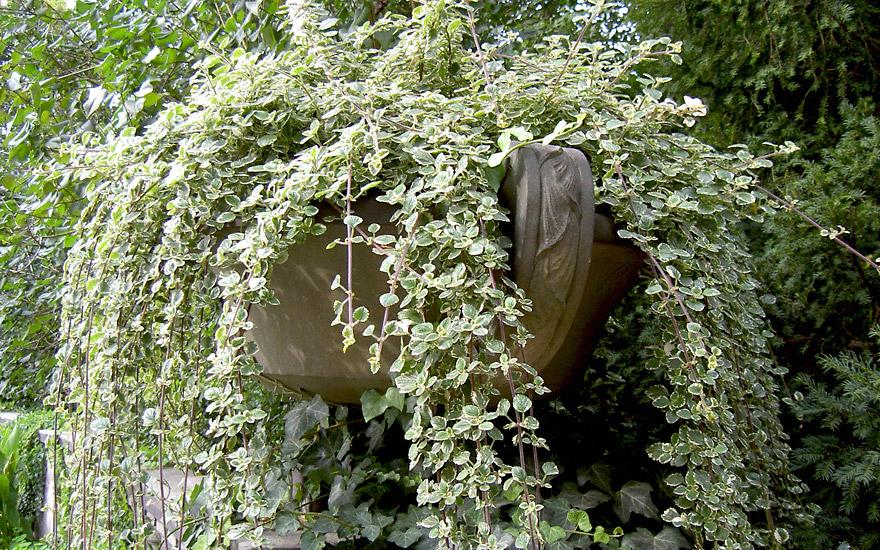Weihrauchpflanze (Pflanze) | Coleus & Plectranthus | Canna