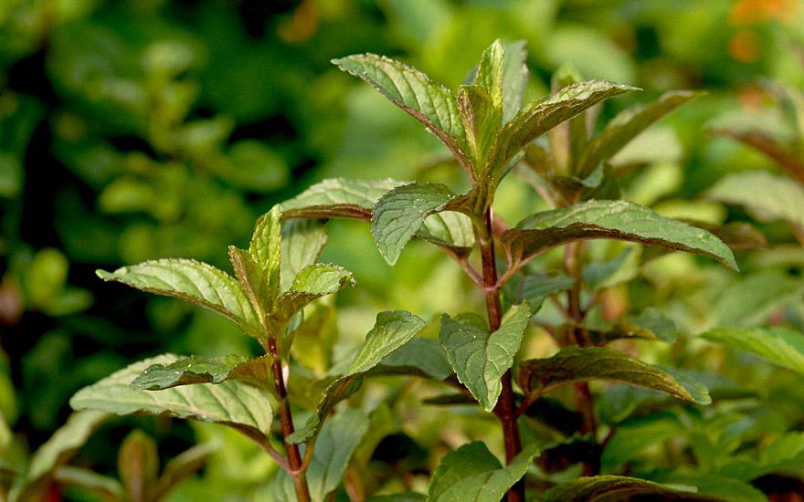 Englische Pfefferminze 'Mitcham' (Pflanze)