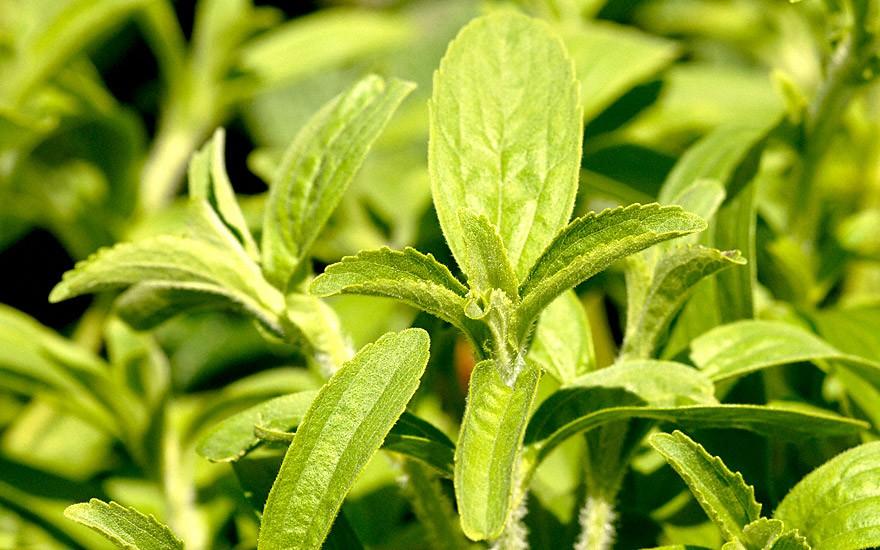 Stevia 'Stepa' (Pflanze)