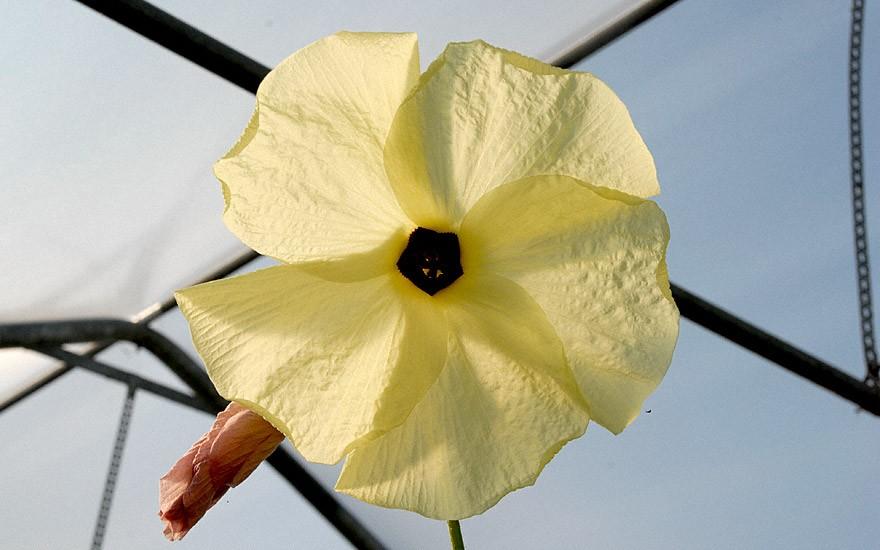 Aibika (Pflanze)