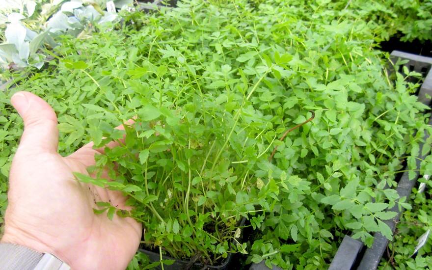 Berle (Pflanze)