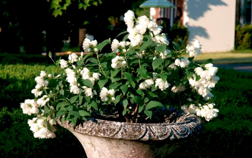 Pfeifenstrauch 'Little White Love'® (Pflanze)