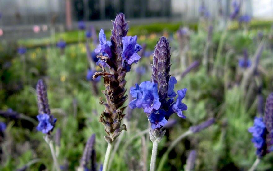 Oregano-Lavendel (Saatgut)