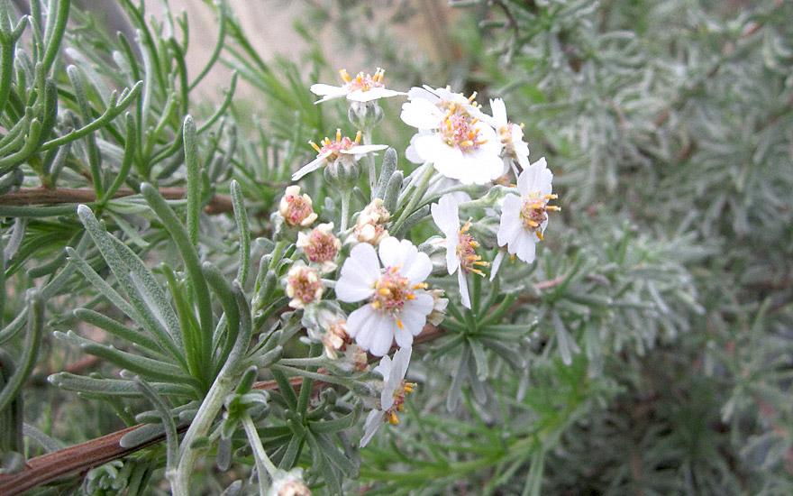 Afrikanischer Rosmarin (Pflanze)