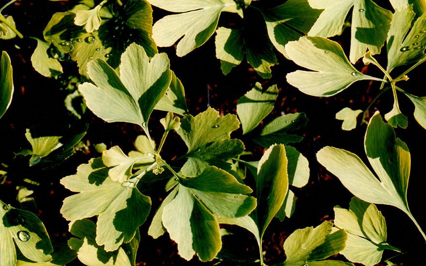 Ginkgo (Pflanze)