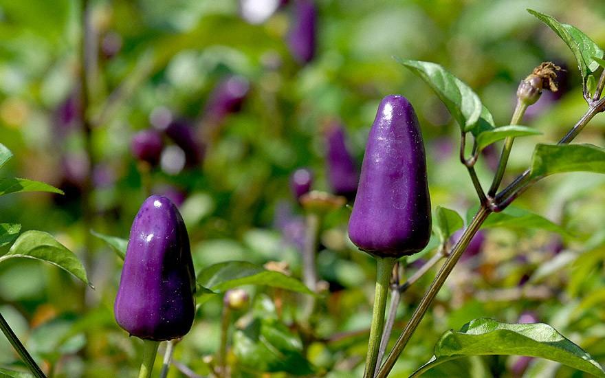 Chili 'Ecuador Purple' (Saatgut)
