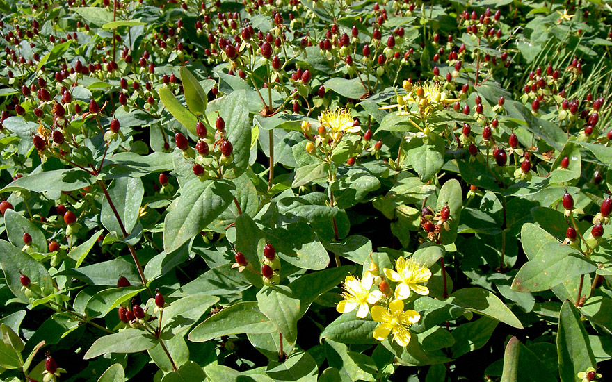 Johanniskraut 'Tutsan' (Pflanze)